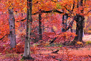 Autumnal Beech (Fagus) trees, Savernake Forest, Wiltshire, UK, November 2012. - Colin Varndell