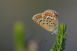 Male Silver studded blue butterfly (Plebejus argus) at rest, Winfrith Heath, Dorset, UK, July.  -  Colin Varndell