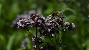 Common drone fly (Eristalis tenax) nectaring on Wild marjoram (Origanum vulgare) flowers in a chalk grassland meadow, Wiltshire, England, UK, August. - Nick Upton