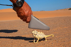 Namaqua chameleon (Chamaeleo namaquensis) being scanned for microchip, part of conservation project, Namib Desert, Namibia, April.  -  Ann  & Steve Toon