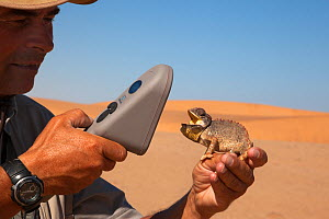 Namaqua chameleon (Chamaeleo namaquensis) with mouth open, being scanned for microchip, part of conservation project, Namib Desert, Namibia, April.  -  Ann  & Steve Toon