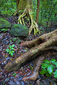 Tree roots and rock in dry Forest during rainy season, Santa Rosa National Park, Guanacaste, Costa Rica.  -  Ingo Arndt