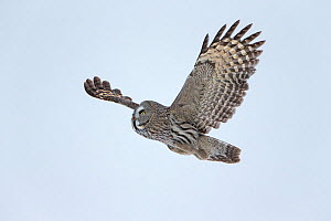 Great grey owl (Strix nebulosa) in flight, hunting, searching for prey, Finland, February. - Ingo Arndt