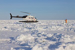 Helicopter landing bringing tourists to see Harp seals (Phoca groenlandicus) on sea ice, Magdalen Islands, Canadian Arctic, Gulf of St Lawrence, Quebec, Canada, March 2013.  -  Ingo Arndt