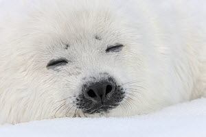 Harp seal (Phoca groenlandicus) pup sleeping on sea ice, Magdalen Islands, Gulf of St Lawrence, Quebec, Canada, March. - Ingo Arndt