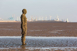 A figure from Antony Gormley's 'Another Place' installation covered in barnacles, including the invasive Austrominius modestus. Crosby, Merseyside, UK, April 2014. - Chris  Mattison