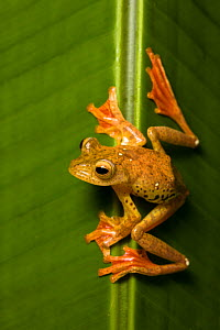 Harlequin Flying Frog (Rhacophorus pardalis) on leaf, Danum Valley, Sabah, Borneo,  -  Chris  Mattison
