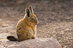 Viscacha (Lagidium viscacia) resting, Chilean Andes, Chile. - Chris  Mattison