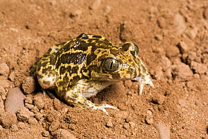 Western spadefoot toad (Pelobates cultripes) captive from Spain  -  Chris  Mattison