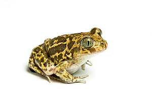 Western spadefoot toad (Pelobates cultripes) against white background, captive from Spain  -  Chris  Mattison