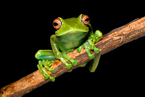 Red-eyed boophis (Boophis luteus) portrait, Andasibe, Madagascar.  -  Chris  Mattison