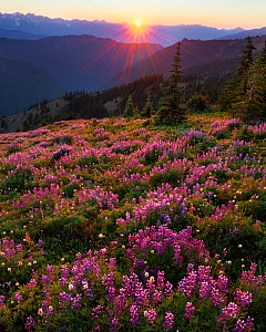 Lupins (Lupinus latifolius) at sunset, near Obstruction Point in Olympic National Park, Washington, USA. August 2011.  -  Floris  van Breugel