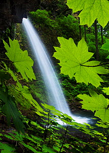 A view of Pony Tail falls with Devil's Club (Oplopanax horridus) leaves in the foreground in the Columbia River Gorge, Oregon, USA. July 2011.  -  Floris  van Breugel