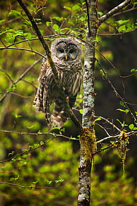Barred Owl (Strix varia) in a tree, Olympic National Park, Washington, USA. May. - Floris  van Breugel