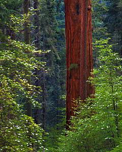 Pacific Dogwood Tree (Cornus nuttallii) and Giant Sequoia (Sequoiadendron giganteum), Sequoia / Kings Canyon National Park, California, USA.  -  Floris  van Breugel