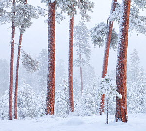 Ponderosa pines (Pinus ponderosa) in winter snow, near Sisters, Oregon, USA. December 2009.  -  Floris  van Breugel
