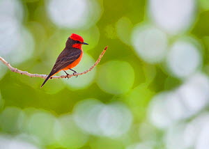 Vermillion Flycatcher (Pyrocephalus rubinus) perched on twig, Big Morongo Canyon Preserve, California. May. - Floris  van Breugel