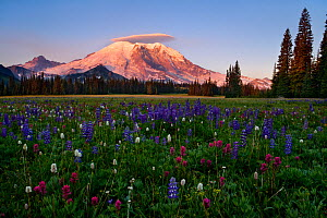 Mt Rainier and a lenticular cloud at sunrise with lupins (Lupinus latifolius) and pink paintbrushes (Castilleja parviflora), Grand Park, Mount Rainier National Park, Washington, USA. August 2008.  -  Floris  van Breugel