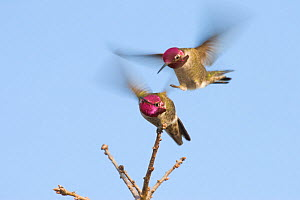 Two Anna's Hummingbirds (Calypte anna) fighting, Mount Diablo State Park, California, USA. December.  -  Floris  van Breugel