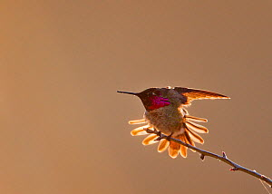 Anna's Hummingbird (Calypte anna) with tail feathers outstretched and wings up at sunrise in Mount Diablo State Park, California, USA. February.  -  Floris  van Breugel