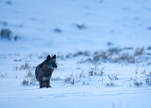 A wild Grey Wolf (Canis lupus), dark form, standing in the snow, Lamar Valley, Yellowstone National Park, Wyoming, USA. January.  -  Floris  van Breugel