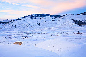 A coyote (Canis latrans) hunting in the snow, Lamar Valley, Yellowstone National Park, Wyoming, USA. December.  -  Floris  van Breugel