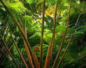 Hawaiian Tree Fern (Cibotium menziesii), Volanoes National Park, Hawaii. July 2011.  -  Floris  van Breugel