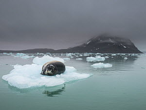 Bearded seal (Erignathus barbatus) resting on ice floe, Spitsbergen, Svalbard, Norway, July. - Roy Mangersnes