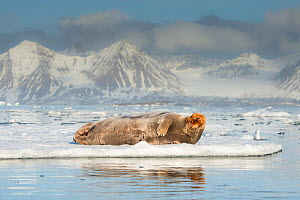 Bearded seal (Erignathus barbatus) resting on an ice floe on Spitsbergen, Svalbard, Norway, June. - Roy Mangersnes
