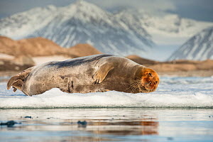 Bearded seal (Erignathus barbatus) resting on an ice floe, Spitsbergen, Svalbard, Norway, June. - Roy Mangersnes