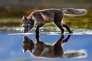Arctic fox (Vulpes lagopus) searching for food in shallow water, Spitsbergen, Svalbard, Norway, July. - Roy Mangersnes