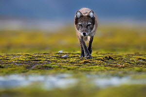 Arctic fox (Vulpes lagopus) searching for food near water, Spitsbergen, Svalbard, Norway, July. - Roy Mangersnes