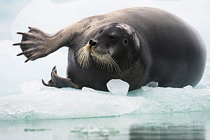 Bearded seal (Erignathus barbatus) stretching flipper, on an ice floe, Spitsbergen, Svalbard, Norway, July. - Roy Mangersnes