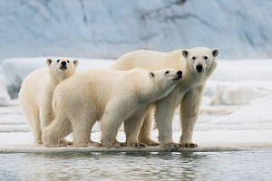 Female Polar bear (Ursus maritimus) with two large cubs on an ice floe, Spitsbergen, Svalbard, Norway, July. Vulnerable Species. - Roy Mangersnes