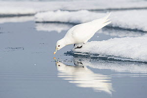 Ivory gull (Pagophila eburnea) feeding in melting ocean ice, North of Svalbard, Norway, July.  -  Roy Mangersnes