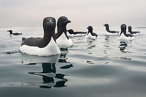 Brunnich's guillemots (Uria lomvia) on sea, Spitsbergen, Svalbard, Norway, July. - Roy Mangersnes