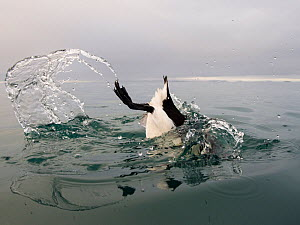 Brunnich's guillemot (Uria lomvia) diving into sea, Spitsbergen, Svalbard, Norway, July.  -  Roy Mangersnes