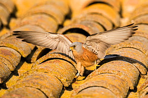 Male Lesser kestrel (Falco naumanni) with wings outstretched on a barn roof, Lleida, Spain, April.  -  Roy Mangersnes