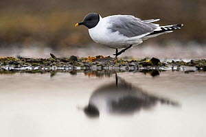 Sabine's gull (Xema sabini) at lake edge, Lagoya, Svalbard, Norway, July. - Roy Mangersnes