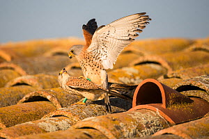 Lesser kestrel (Falco naumanni) pair mating in front of nesting tile on a barn roof, Lleida, Spain, April.  -  Roy Mangersnes