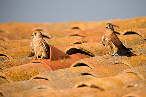 Female Lesser kestrel (Falco naumanni) inspecting nest with the male waiting, the nest is a hollow tile on a barn roof, Lleida, Spain, April.  -  Roy Mangersnes