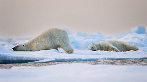 Two Polar bears (Ursus maritimus) resting on pack ice, North of Svalbard, Norway, July. Vulnerable Species. - Roy Mangersnes