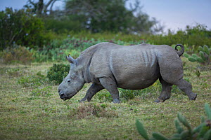 Thandi the  female Southern white rhinoceros (Ceratotherium simum) who lost her horn in an attack by poachers,  walking through grassland,  Kariega Game Reserve, Eastern Cape Province, South Africa - Neil Aldridge