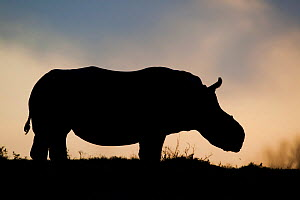 Thandi the  female Southern white rhinoceros (Ceratotherium simum) who lost her horn in an attack by poachers, silhouetted against evening sky,,  Kariega Game Reserve, Eastern Cape Province, South Afr... - Neil Aldridge