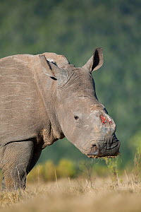 Dehorned female Southern white rhinoceros (Ceratotherium simum) portrait, poaching survivor known as Thandi, Kariega Game Reserve, Eastern Cape Province, South Africa, September.  -  Neil Aldridge