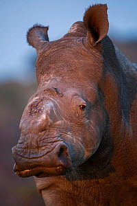 Thandi the  female Southern white rhinoceros (Ceratotherium simum) who lost her horn in an attack by poachers,   Kariega Game Reserve, Eastern Cape Province, South Africa - head portrait showing wound... - Neil Aldridge