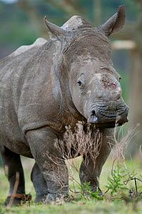 Thandi the  female Southern white rhinoceros (Ceratotherium simum) who lost her horn in an attack by poachers,   Kariega Game Reserve, Eastern Cape Province, South Africa - Neil Aldridge