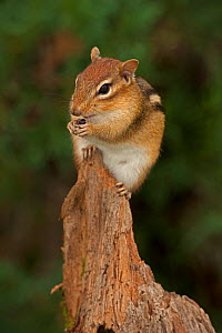 Eastern chipmunk (Tamias striatus) on piece of wood feeding, New York, USA, September.  -  John Cancalosi