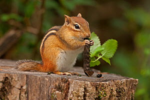 Eastern chipmunk (Tamias striatus) feeding on caterpillar on tree stump, New York, USA, September.  -  John Cancalosi