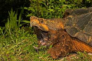 Alligator snapping turtle (Macrochelys temminckii) with mouth wide open, Louisiana, USA, April. Vulnerable species.  -  John Cancalosi
